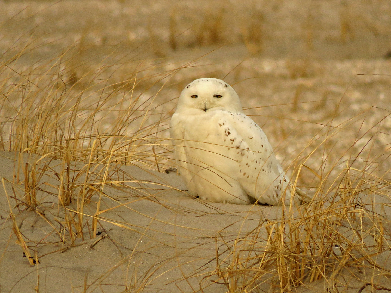 Snowy owl, Breezy Point, February 22, 2019