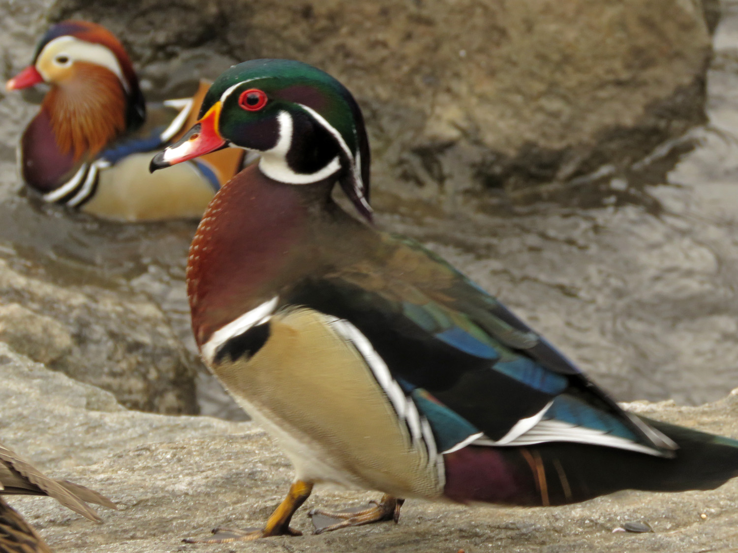Woody and Mandy the Mandarin duck, the Pond, March 18, 2019