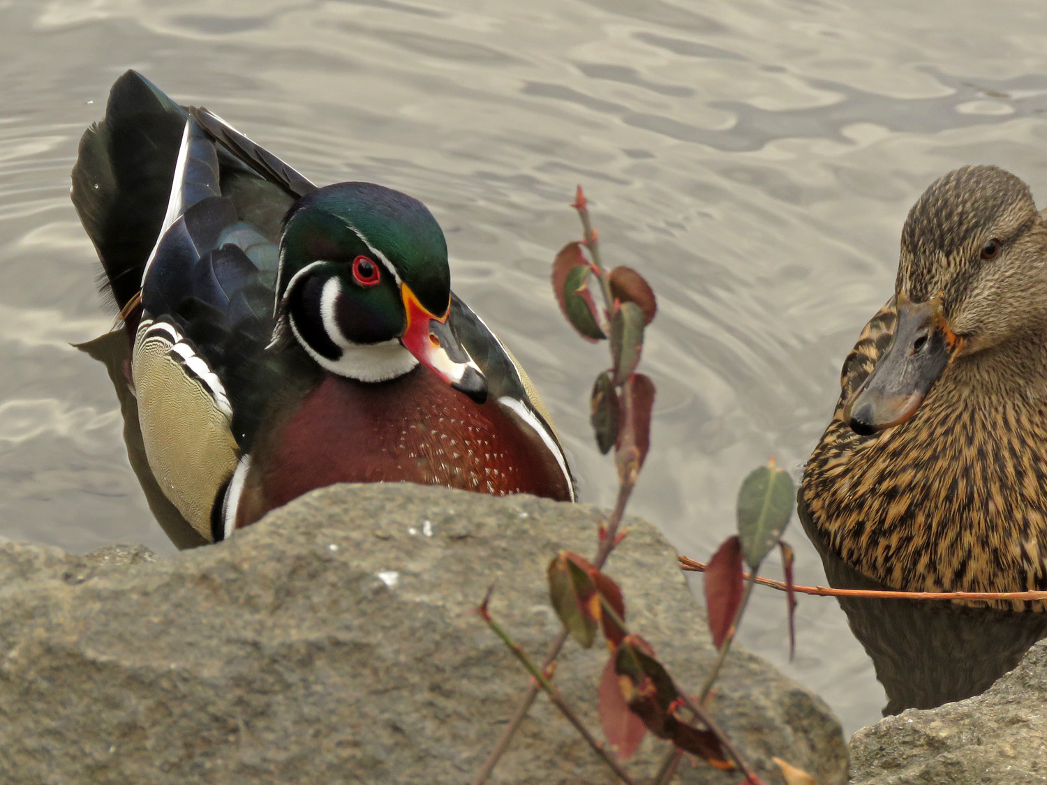 Woody and his mallard girlfriend, the Pond, March 18, 2019