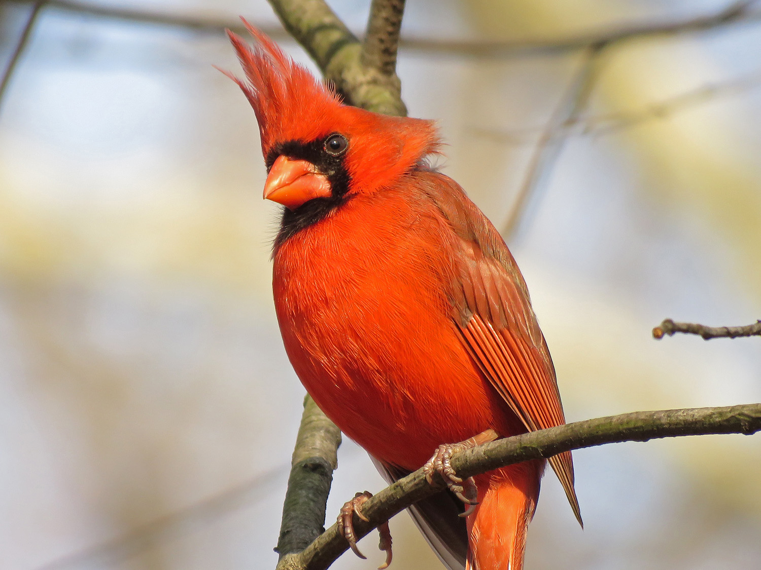 Northern cardinal at Triplets Bridge, Central Park, March 20, 2019