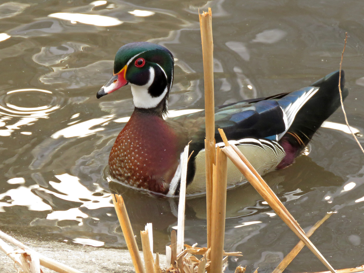Woody at the Pond, March 20, 2019