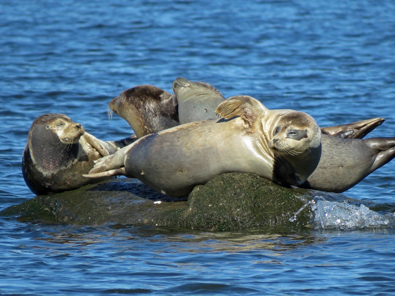 Four harbor seals were sharing a rock near Mt. Loretto Unique Area on Staten Island on March 26, 2019.