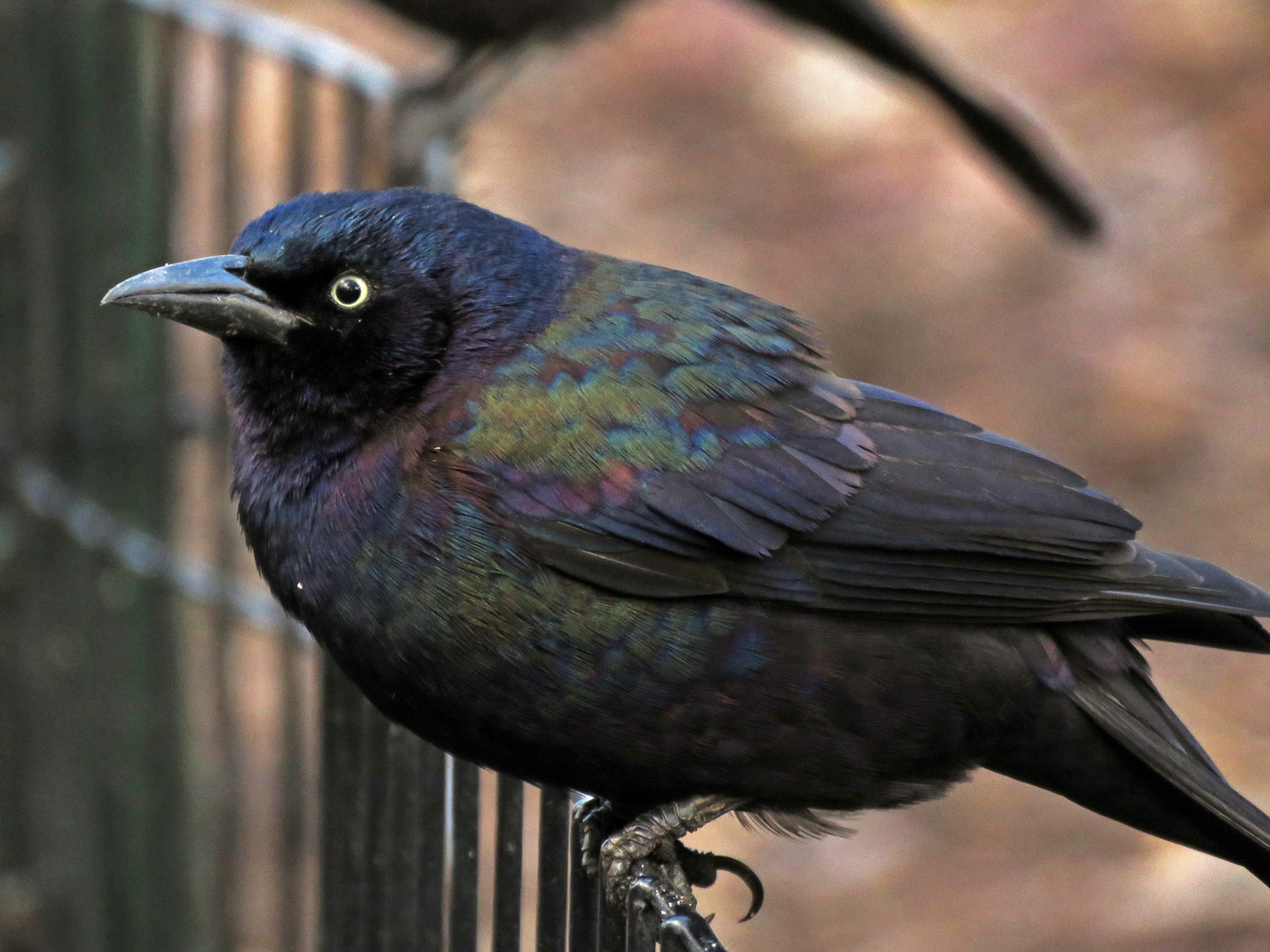 Common grackle, the Ramble, Central Park, March 31, 2019