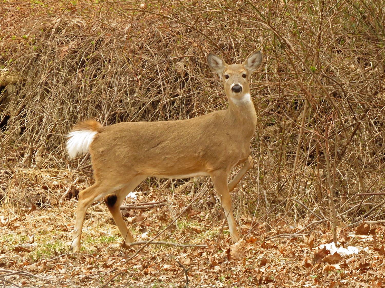 Deer 1500 4-2-2019 SI 105P.jpg