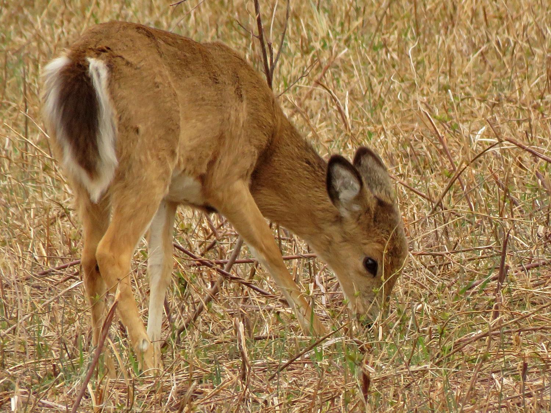 Deer 1500 4-2-2019 SI 144P.jpg