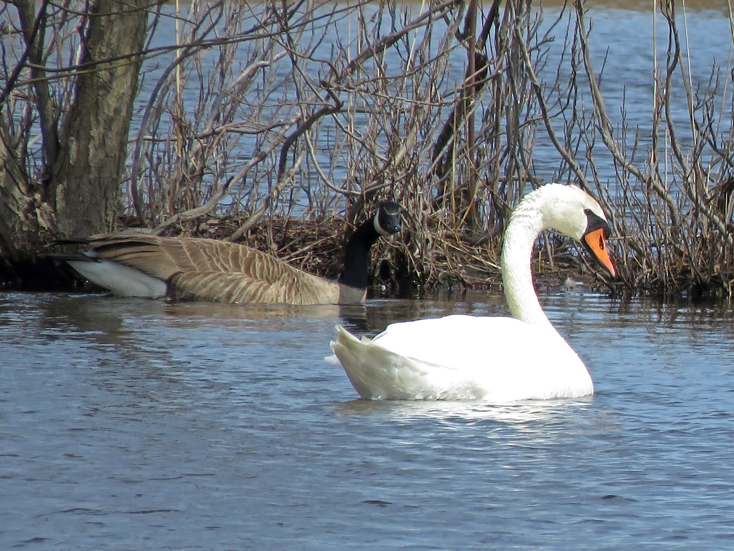 Mute swan and Canada goose, Cunningham Pond, Mt. Loretto, Staten Island, April 2, 2019