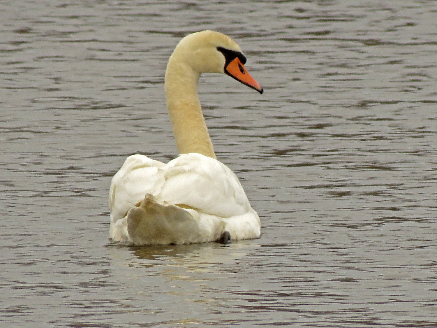Mute swan, Cunningham Pond, Mt. Loretto, Staten Island, April 2, 2019