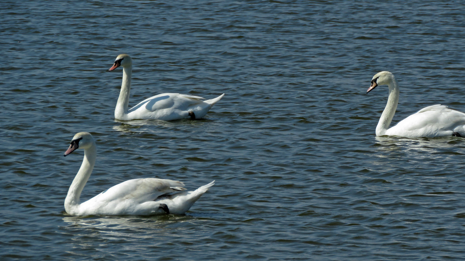 Mute swans, Jamaica Bay Wildlife Refuge, April 6, 2019