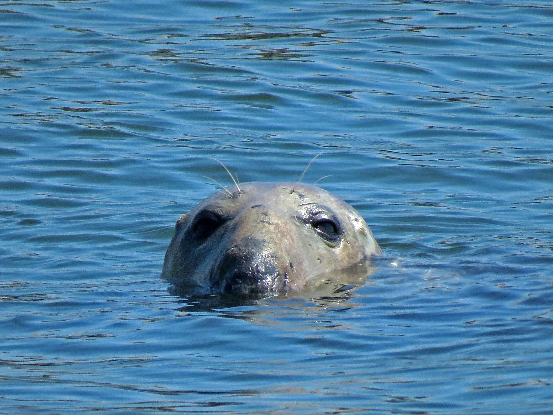 Gray seal, Swinburne Island, April 6, 2019