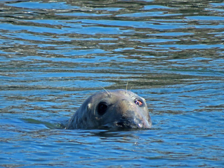 Gray seal 1500 4-6-2019 FT AP JB 188P.jpg