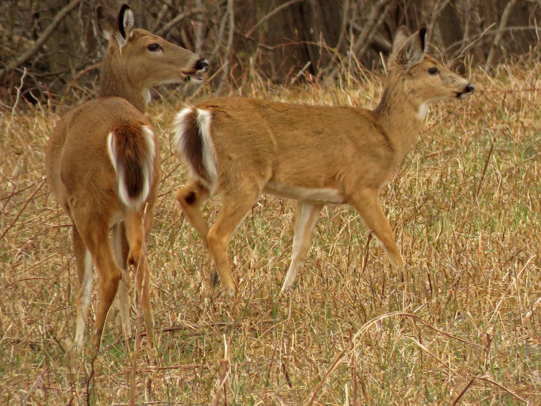 White-tailed deer, Mt. Loretto Unique Area, Staten Island, April 2, 2019