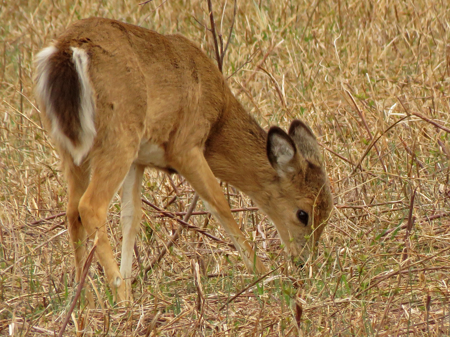White-tailed deer, MLUA, April 2, 2019
