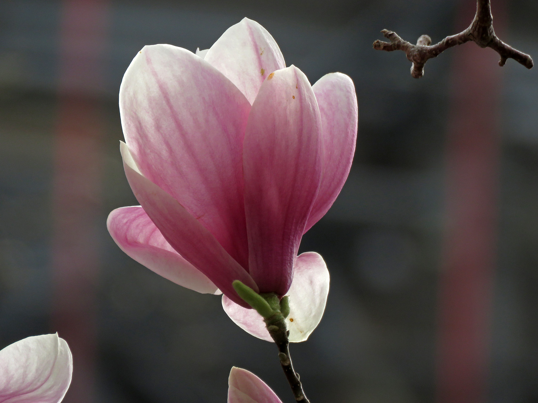 Magnolia blossom, Saint John the Divine, April 11, 2019