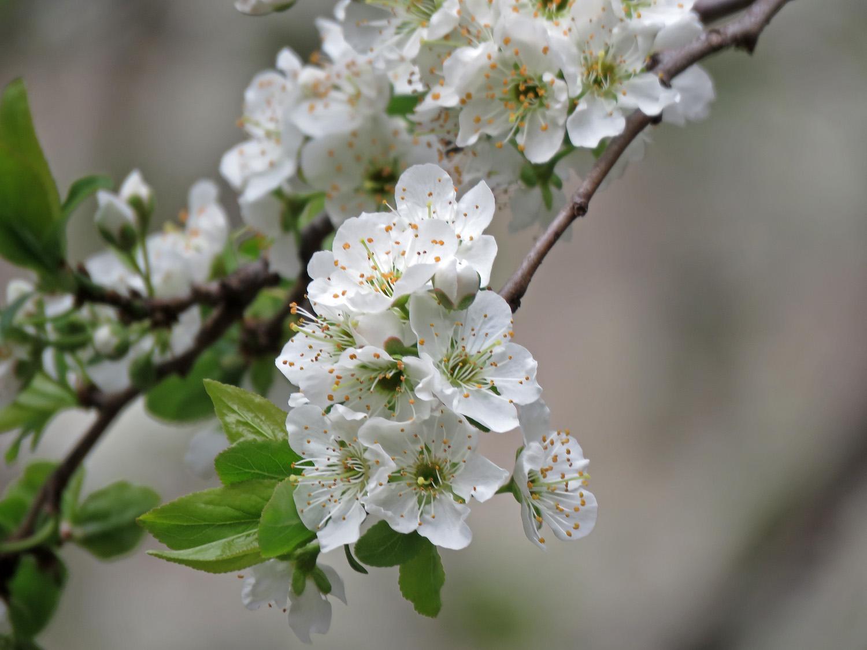 Flowering fruit tree at Saint John the Divine, April 11, 2019