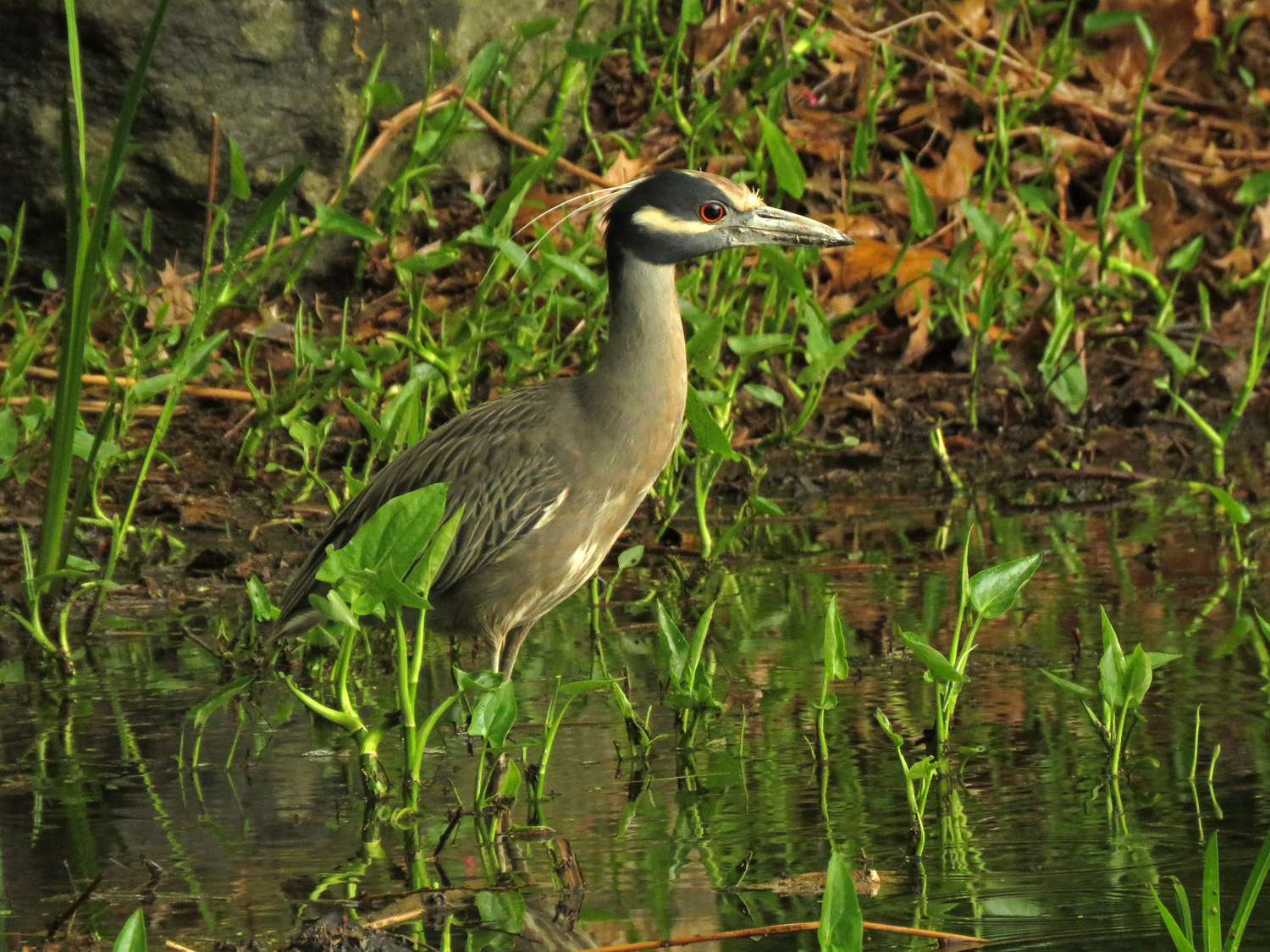 Yellow-crowned night heron, Turtle Pond, Central Park, May 14, 2019