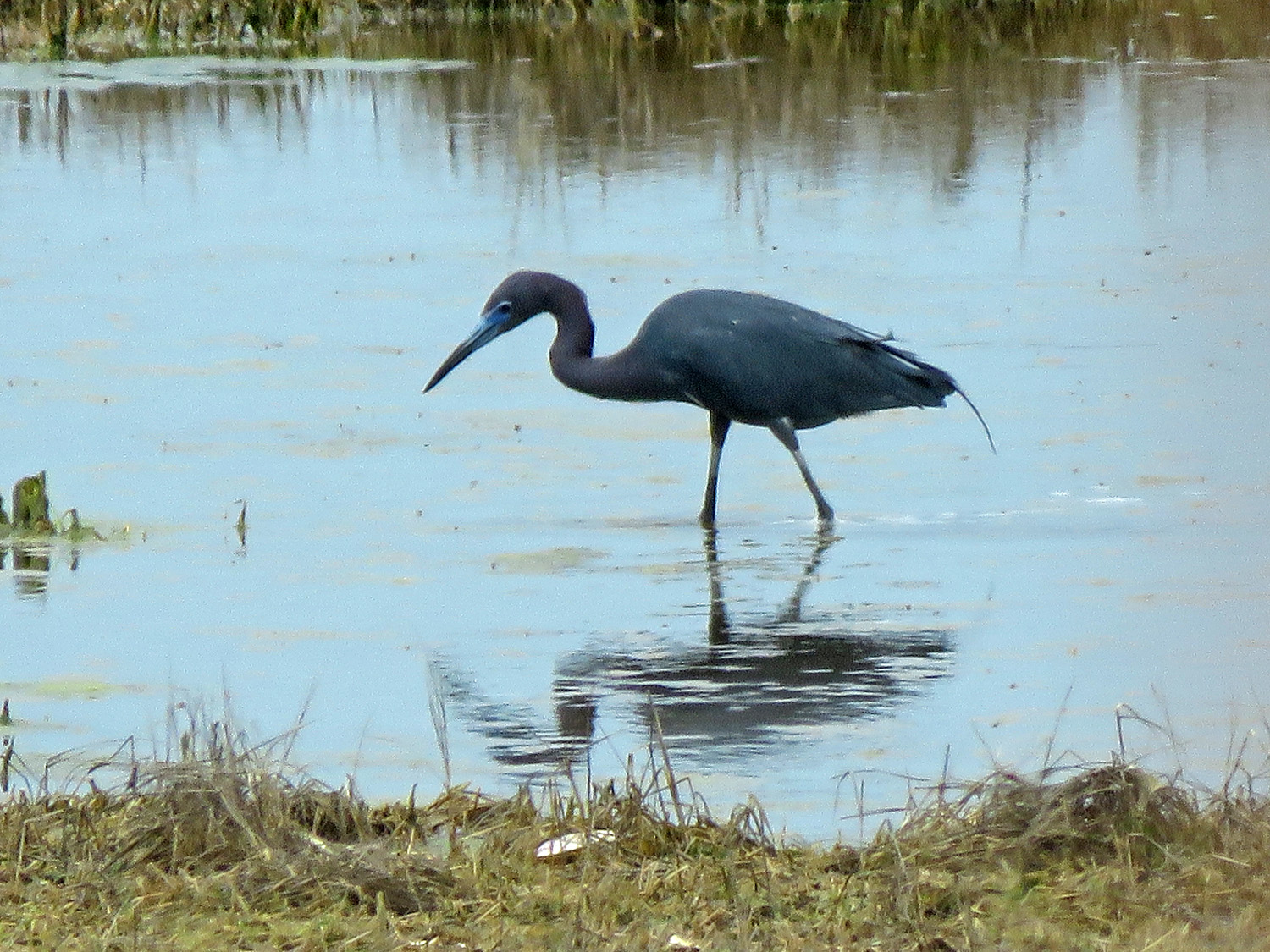 Adult little blue heron, Lido Beach Passive Nature Area, May 17, 2019