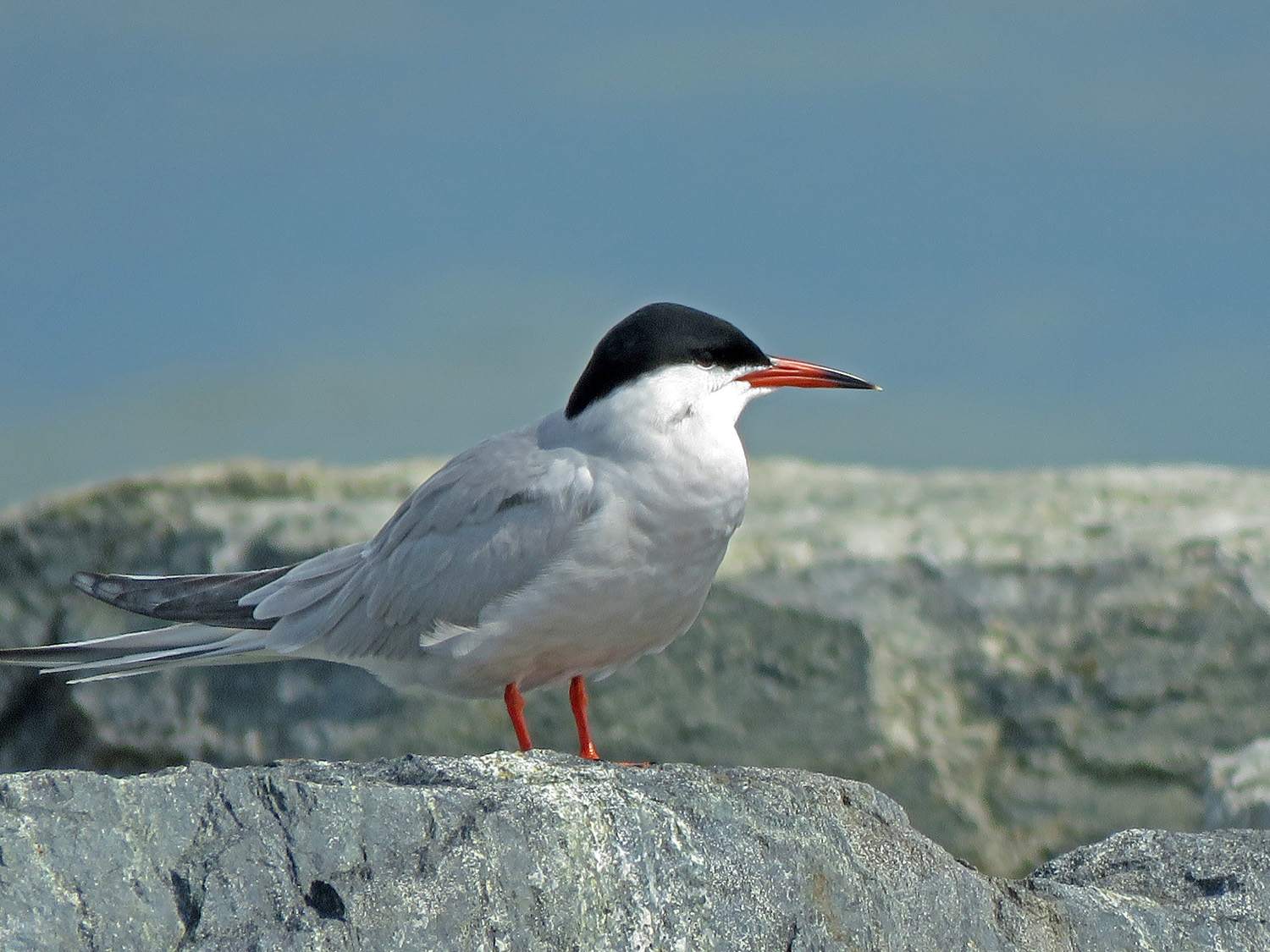 Common tern, Nickerson Beach, May 17, 2019. He and his buddies would have loved to take my Yankees cap or peck my eyes out!