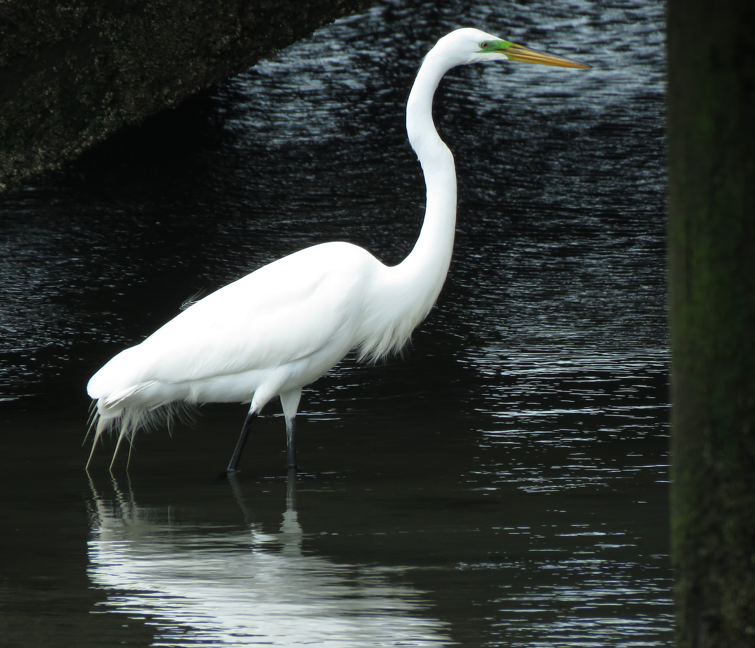 Great egret, at the marine near the Lido Beach Passive Nature Area, May 17, 2019