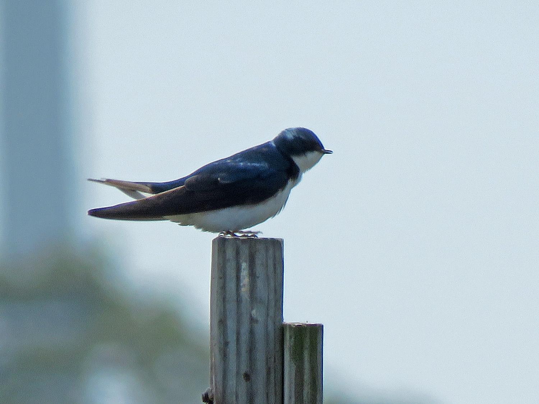 A tree swallow keeps a watchful eye, Lido Beach Passive Nature Area