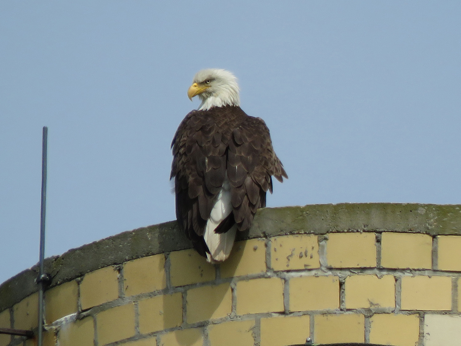 I love an eagle with attitude. Himself on the utility tower, Mt. Loretto Unique Area, Staten Island, May 22, 2019