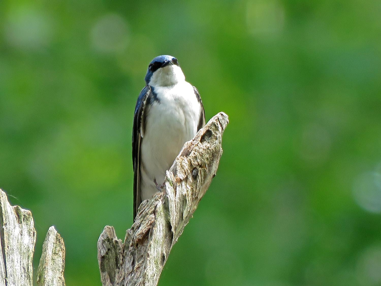 Tree swallow, Mt. Loretto Unique Area, Staten Island, May 22, 2019