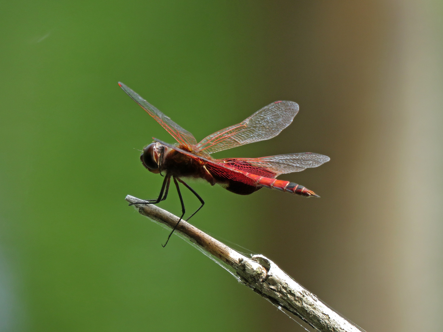 A dragonfly, possibly red saddlebags???, North Mt. Loretto State Forest, May 22, 2019