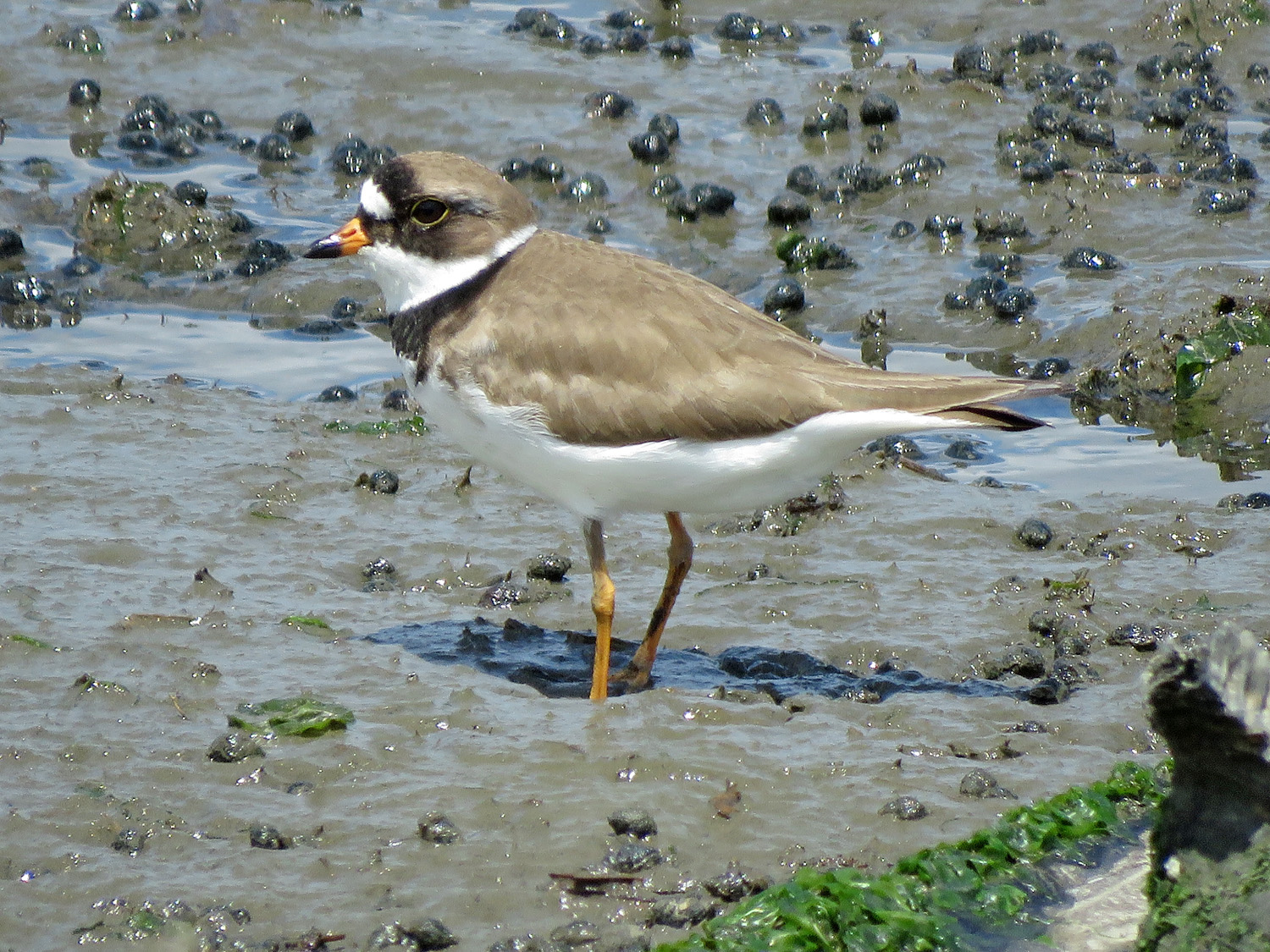 Semipalmated plover, near Cross Bay Boulevard, Jamaica Bay, May 15, 2019