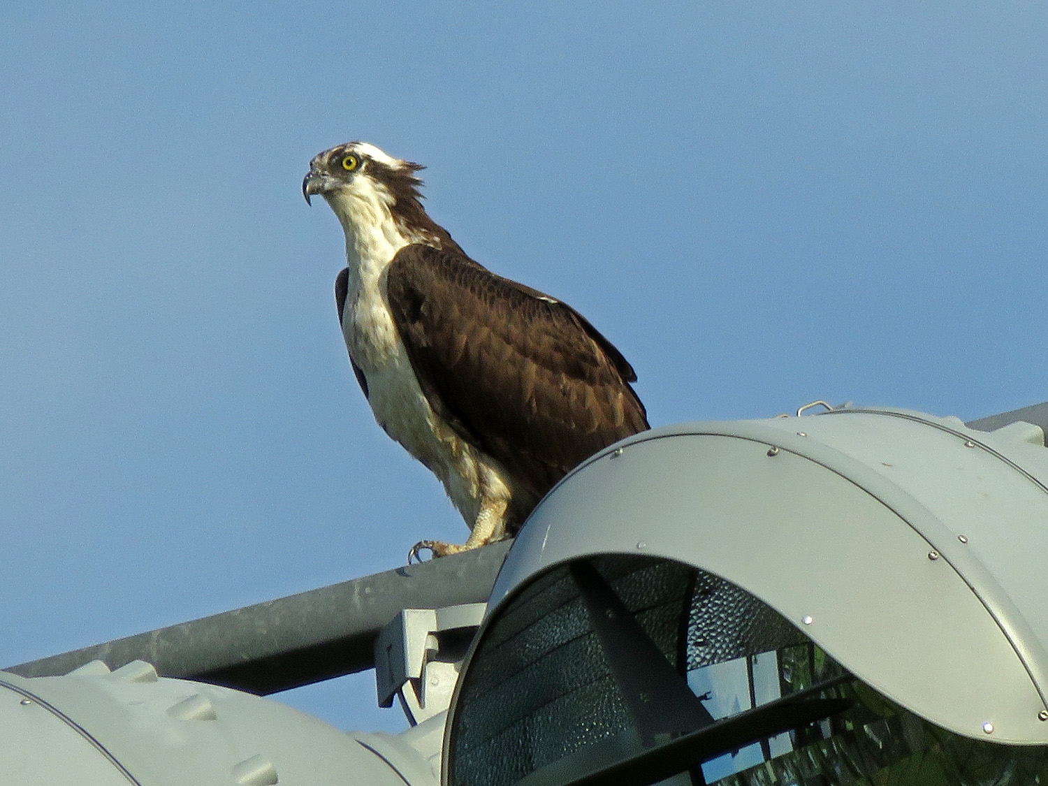 Osprey near his nest on Page Avenue, Staten Island, May 22, 2019