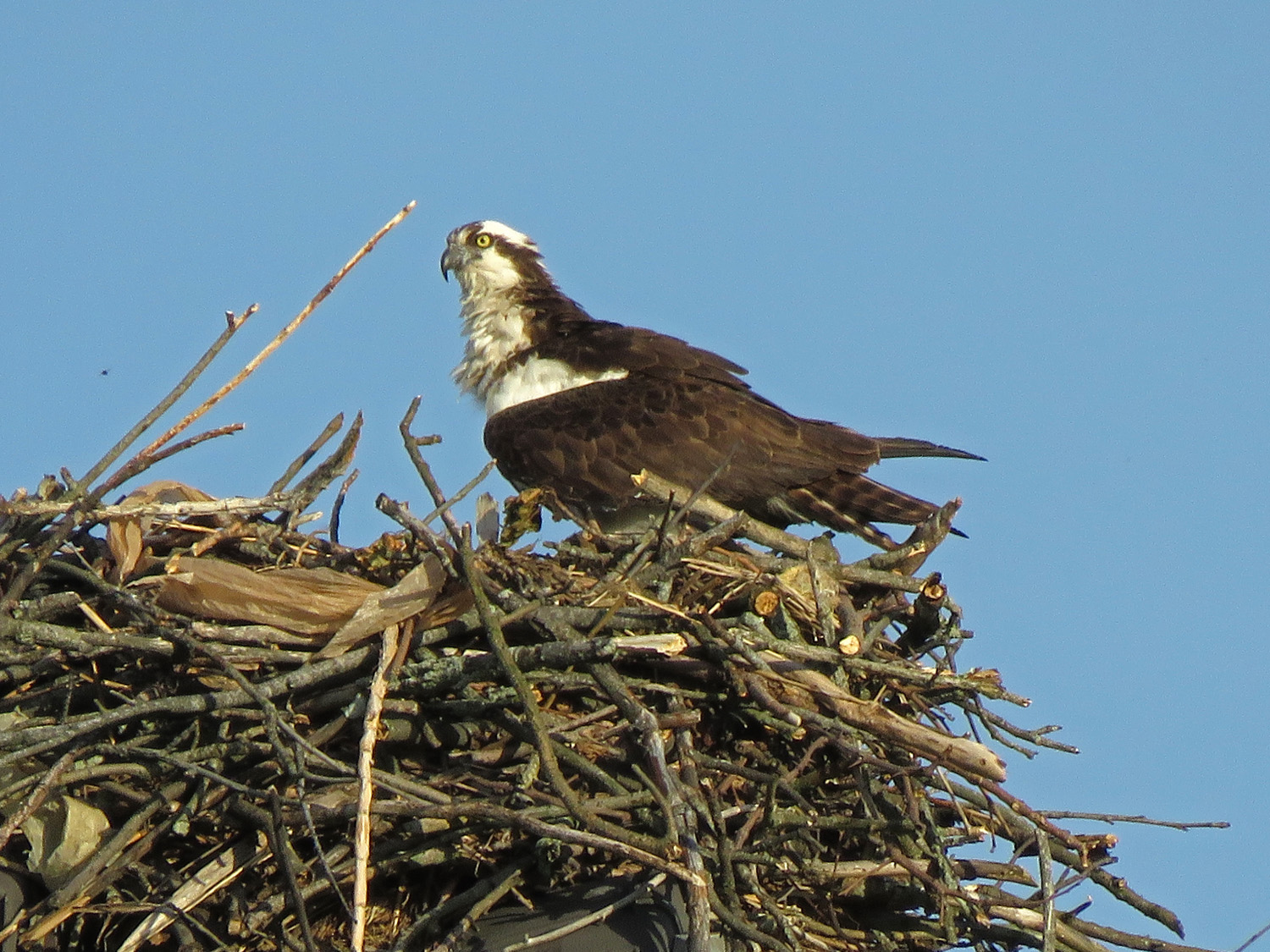 Mama osprey on her nest, Page Avenue, Staten Island, May 22, 2019