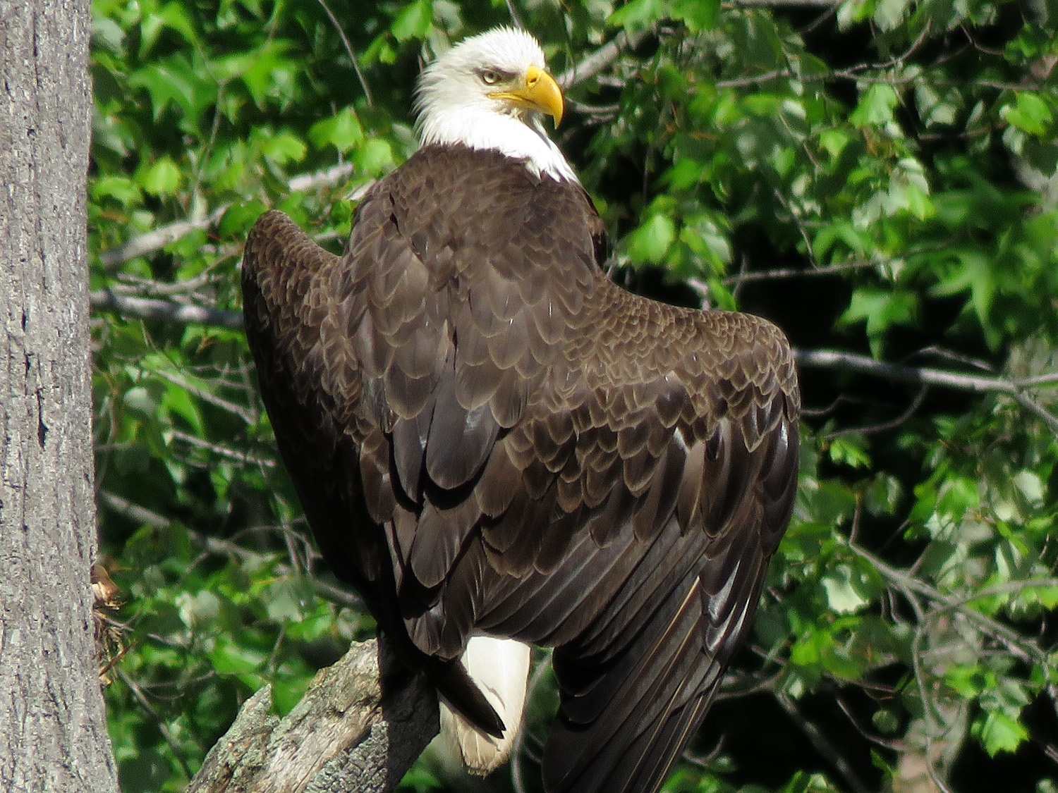 The eagle was perched on this branch for 2 1/2 hours, June 9, 2019.