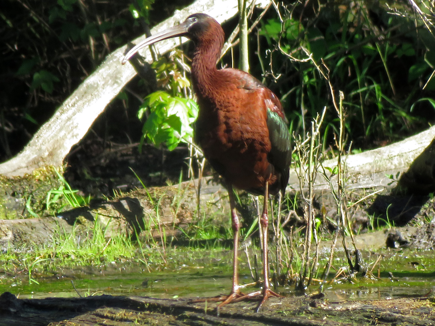 A glossy ibis at the snag pond, June 9, 2019, North Mount Loretto State Forest, Staten Island.