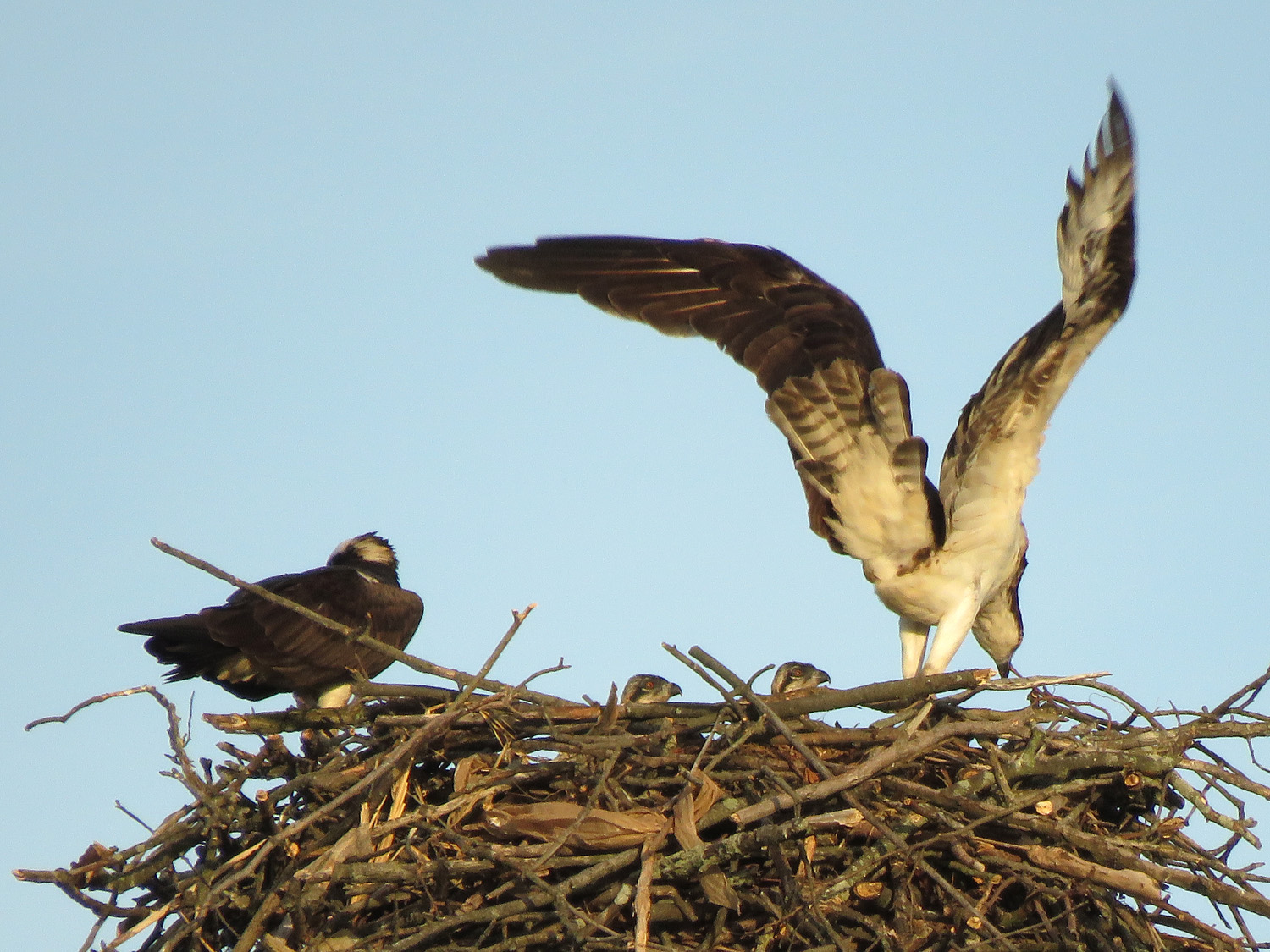 Pops on the left, Mama Osprey on the right, and two of the three babies in a Staten Island nest, June 9, 2019