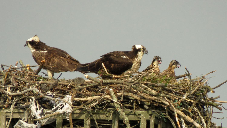 Osprey family portrait, nest near Lido Beach Passive Nature Preserve, Long Island, June 17, 2019