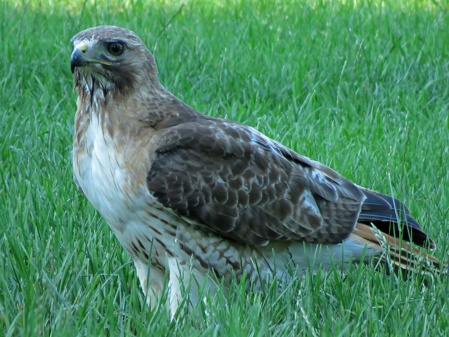 George Red-Tailed Hawk, North Meadow, Central Park, June 23, 2019