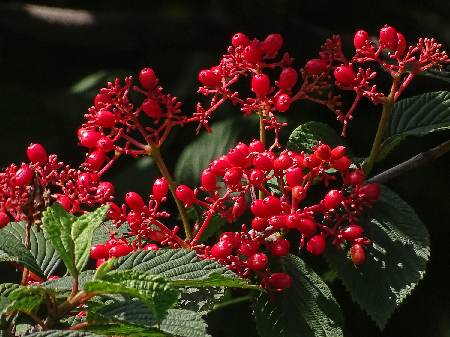 Red berries in Central Park