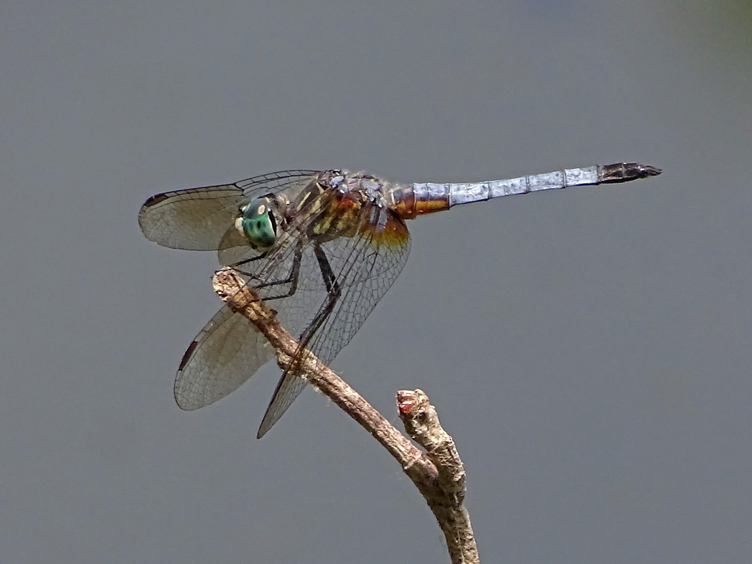 A blue dragonfly at the Pond, Central Park