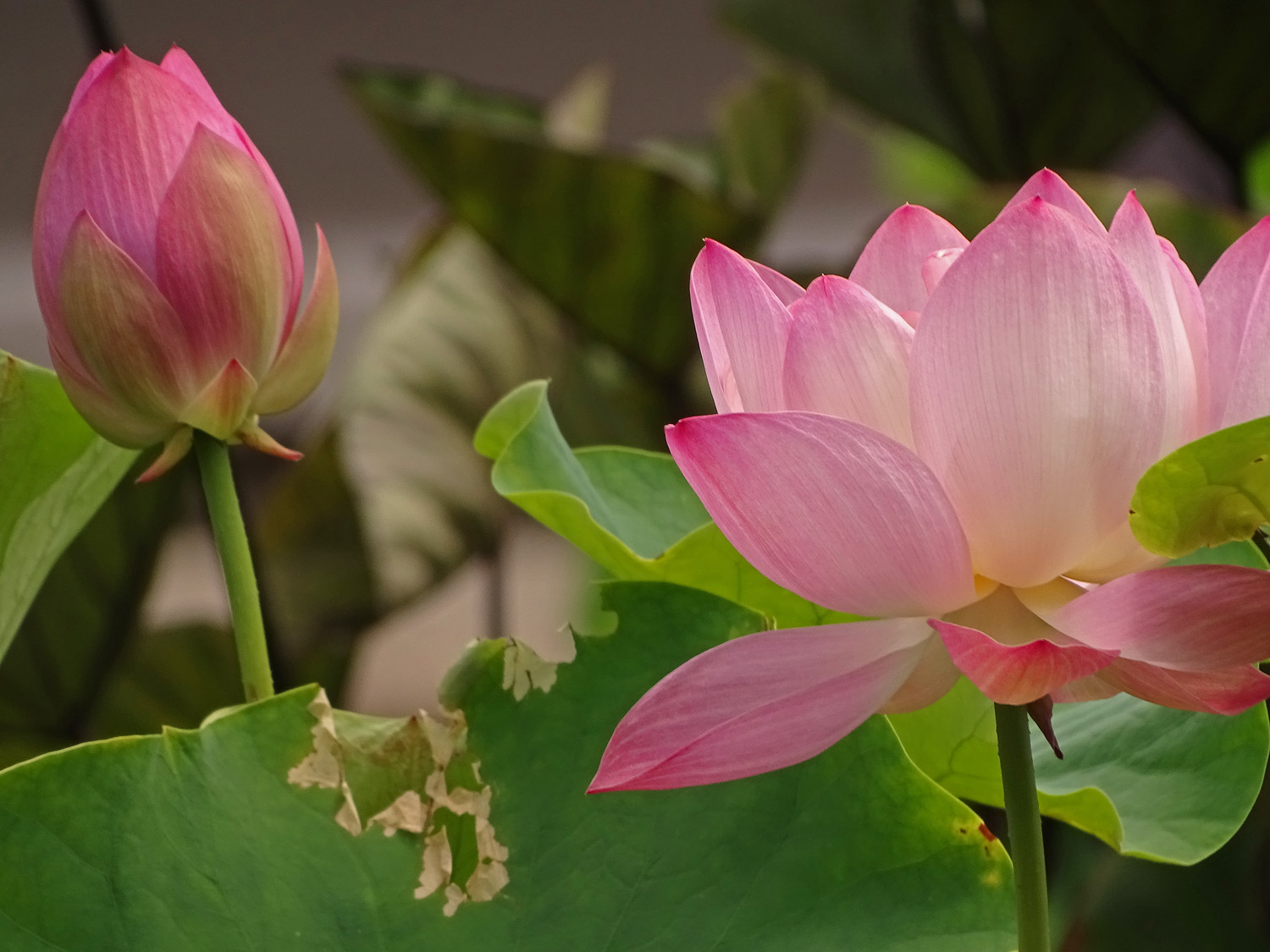 Lotus blossoms, Bethesda Fountain, July 3, 2019