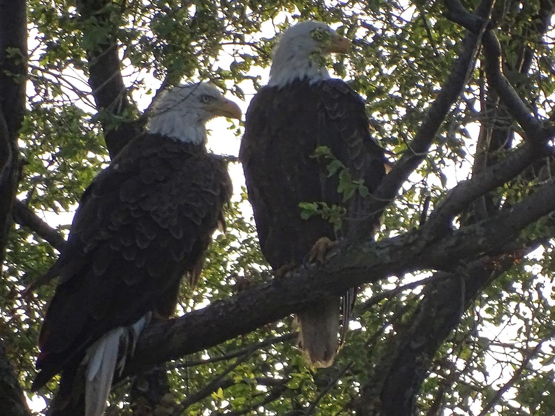 The proud bald eagle parents, resting a bit on a tree over the Mt. Loretto Unique Area beach, July 4, 2019
