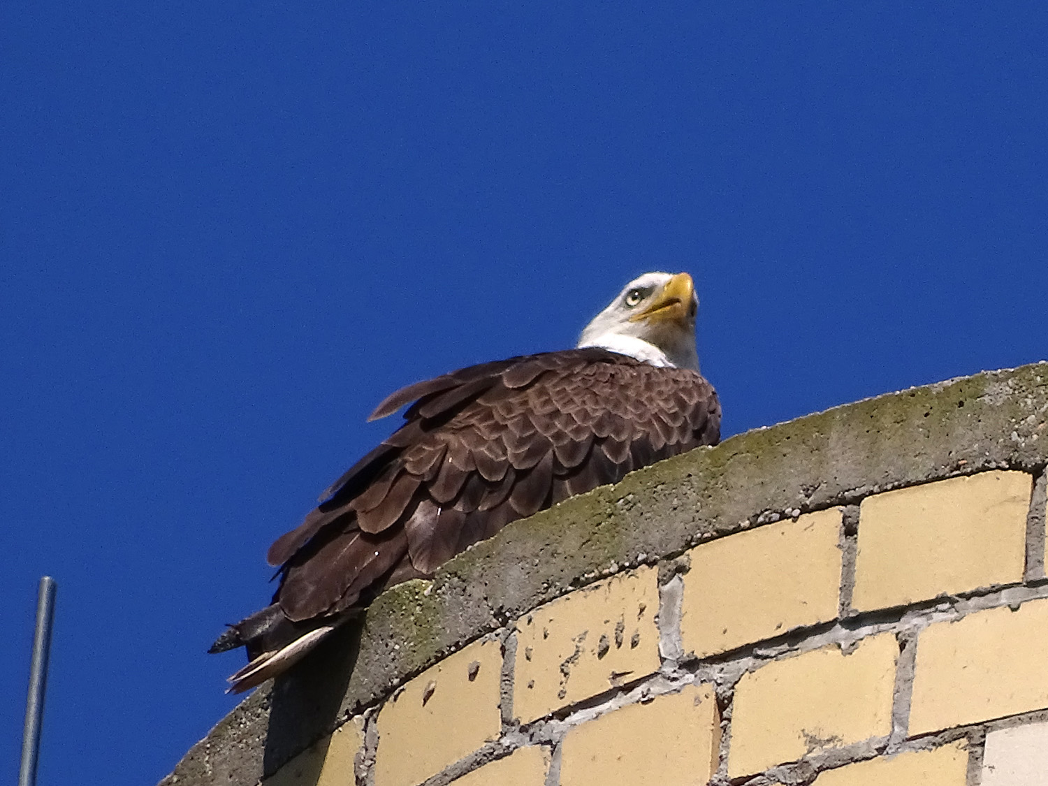 Papa eagle on the utility tower behind the church at Mt. Loretto, July 4, 2019