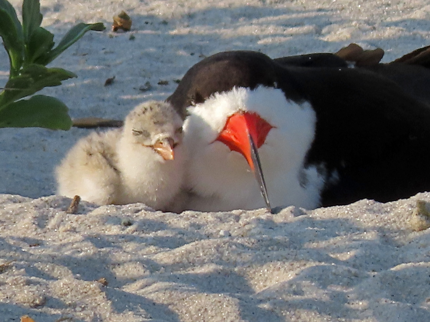 Black skimmer mother with chick, July 25, 2019, Nickerson Beach, Long Island