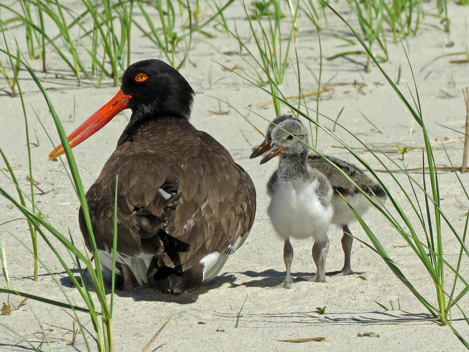 Mama American oystercatcher and two little kiddies, June 4, Nickerson Beach