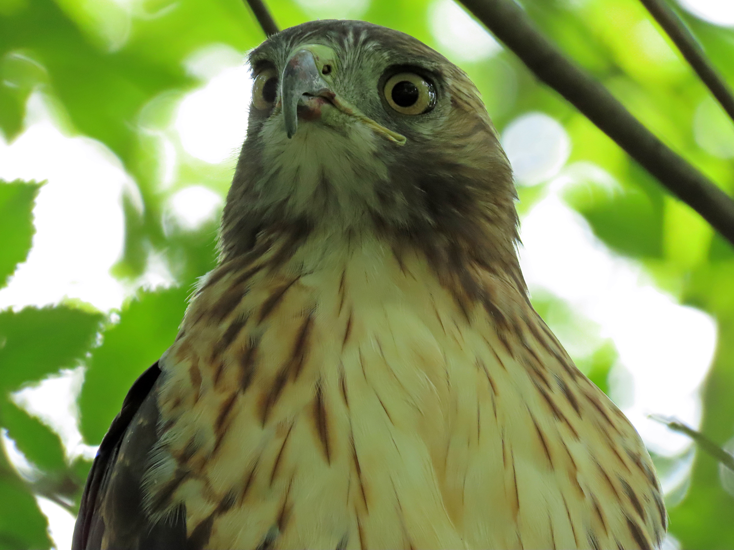 Young adult red-tailed hawk, Central Park, September 9, 2019