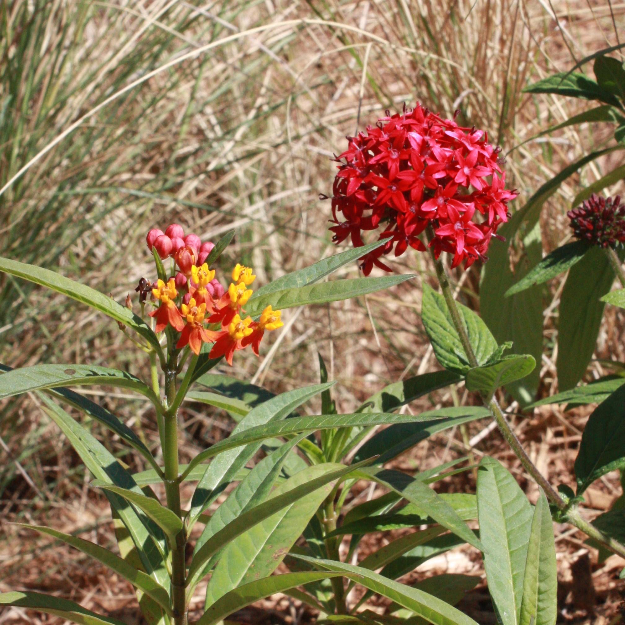 Milkweed And Red Pentas.JPG