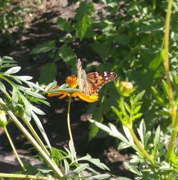 Painted Lady Butterfly at Kapp and Kappy B&B