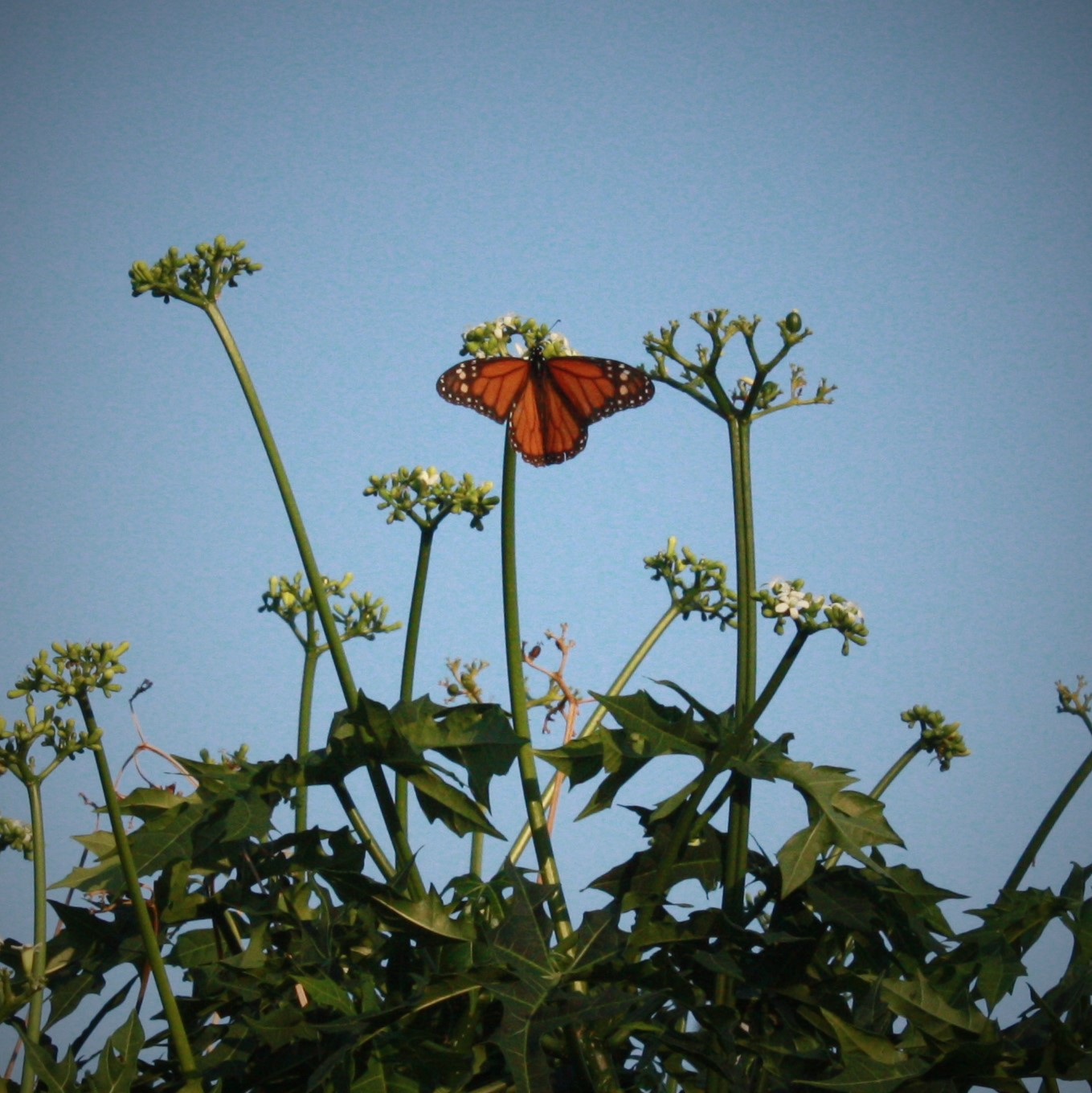 Monarch Butterfly on Chaya Spinach Tree