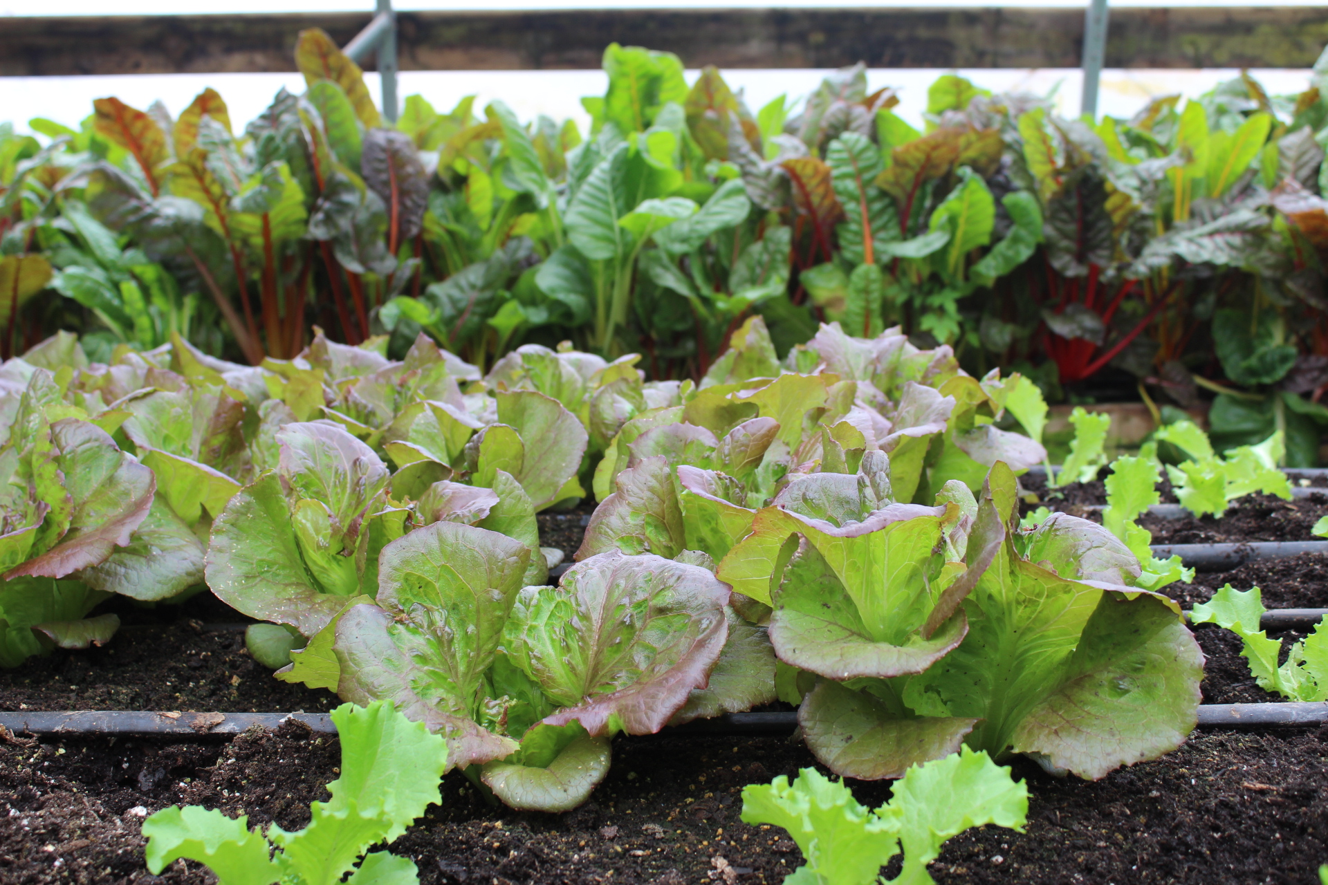Lettuce and leafy greens growing year-round in the greenhouses. The largest buyer of these mixes is local Brewing Company, Latitude 42.