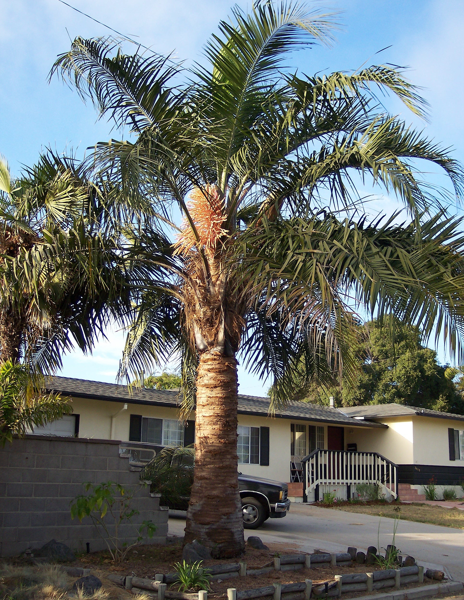 Specimen size Mule Palm.    Photo found online.