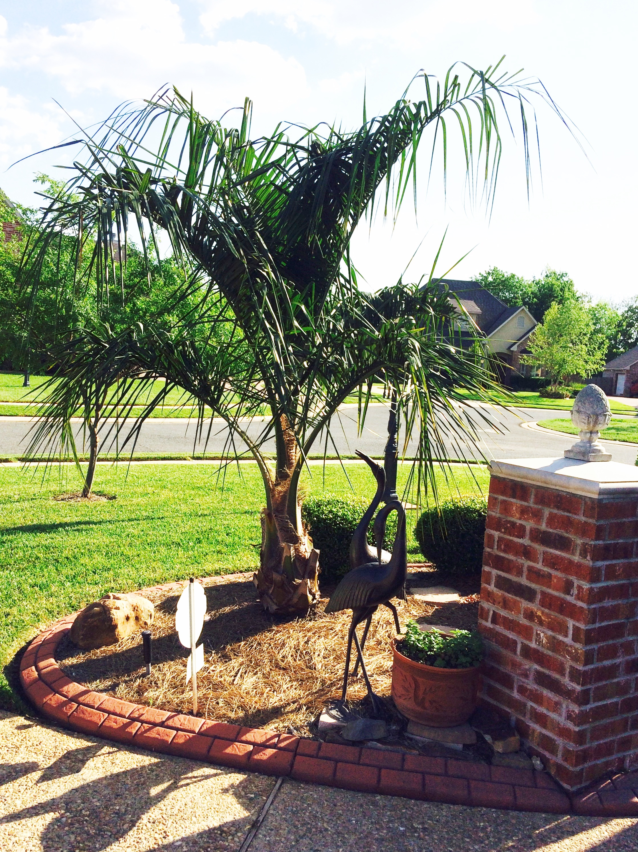 One of our Mule Palms growing well in Shreveport Louisiana, planted 2013 from 15 gal. pot.    Photo taken April 2016