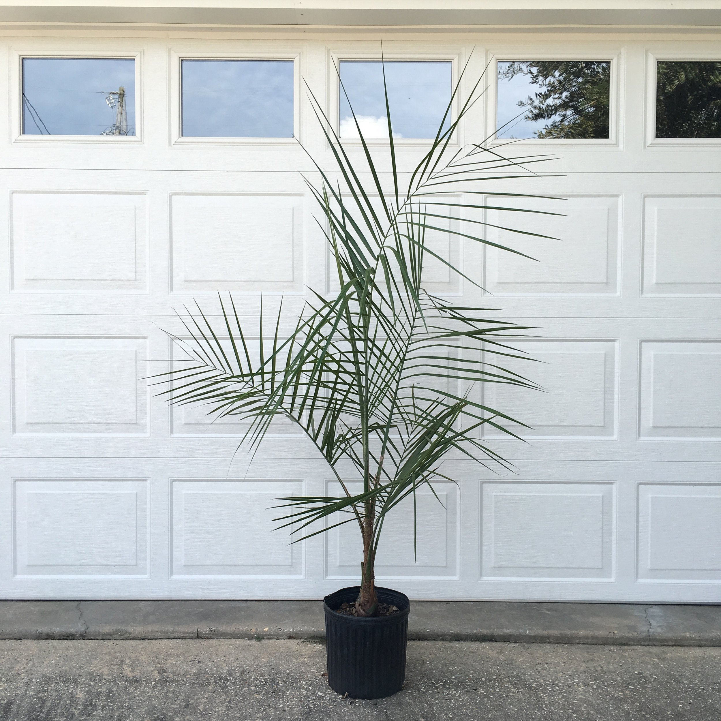 Mule Palm 3 gallon, this palm is 3 years old.
