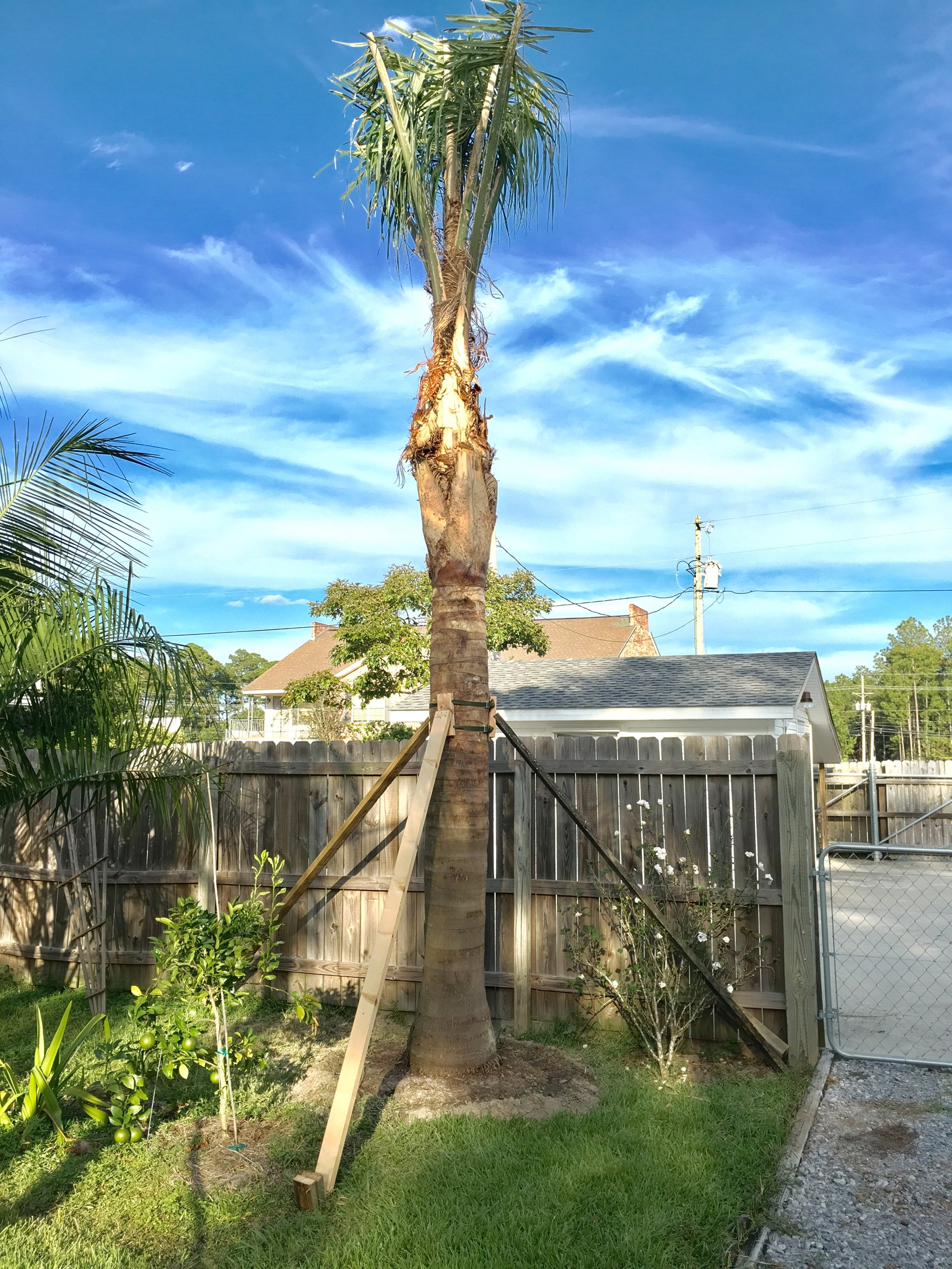 Silver Queen Palm  -  Syagrus romanzoffiana var. litoralis.(South Field)